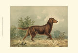Irish Setter I Prints by Alexander Pope