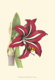 Amaryllis Blooms I Posters by Van Houtteano 
