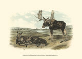Moose Deer Plakat af John James Audubon