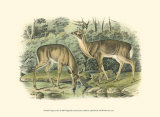 Virginian Deer Prints by John James Audubon