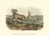 Rocky Mountain Sheep Prints by John James Audubon