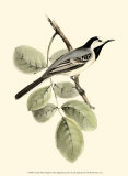 White Wagtail Prints by John Gould
