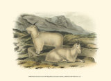 Rocky Mountain Goat Plakater af John James Audubon