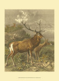 Small Red Deer Prints by Friedrich Specht