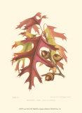 Scarlet Oak Plakaty autor Sprague