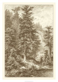 Sepia Noble Fir Giclee Print by Ernst Heyn