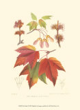 Red Maple Prints by  Sprague