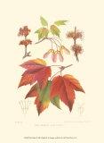 Red Maple, Art Print