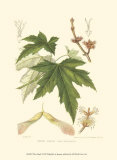White Maple Prints by Sprague