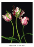Parrot Tulips II Posters by Andrew Levine