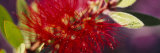 Bottlebrush Flower, Sacramento, California, USA Fotografie-Druck von Panoramic Images 
