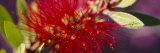 Bottlebrush Flower, Sacramento, California, USA Photographic Print by  Panoramic Images