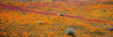 Blossoms in Antelope Valley, Poppy Reserve, Mojave Desert, California, USA Photographic Print by  Panoramic Images