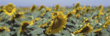 Field of Sunflowers, Central Valley, California, USA Photographic Print by Panoramic Images 
