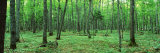 Trees in a Forest, Black River National Forest, Michigan, USA Photographic Print by  Panoramic Images