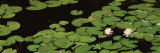 Water Lilies, Suwannee Recreation Area, Okefenokee National Wildlife Refuge, Georgia, USA Photographic Print by  Panoramic Images