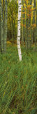 Panoramic Images - Trees in the Forest, Acadia National Park, Maine, USA - Fotografik Baskı