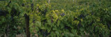 Bunch of Grapes in a Vineyard, Hammondsport, Lake Keuka, Finger Lakes, New York State, USA Photographic Print by  Panoramic Images