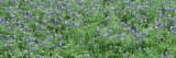 Grassy Field, Texas Blue Bonnets, Austin, Texas, USA Photographic Print by  Panoramic Images