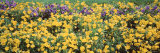 Pansy Flowers on a Field Photographic Print by  Panoramic Images