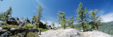 Pine Trees, California, USA Photographic Print by  Panoramic Images
