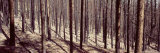 Bare Trees in a Forest One Year After Forest Fire, Roosevelt National Forest, Colorado, USA Photographic Print by  Panoramic Images
