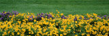 Pansy Flowers in a Field Photographic Print by  Panoramic Images