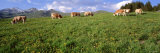 Cows Grazing in the Field, Switzerland Photographic Print by  Panoramic Images