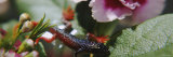 Salamander on Flowers Photographic Print by  Panoramic Images