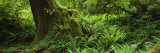 Ferns and Vines, Hoh Rainforest, Olympic National Forest, Washington State, USA Fotodruck von  Panoramic Images