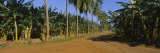 Palm Trees and Banana Trees Cultivated along a Dirt Road, Cuba Photographic Print by  Panoramic Images