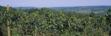 Bunch of Grapes in a Vineyard, Finger Lakes Region, New York State, USA Photographic Print by  Panoramic Images