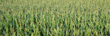 Corn Crop in a Field, Iowa, USA Photographic Print by  Panoramic Images