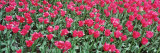 Tulips in Spring, Canberra, Australia Photographic Print by  Panoramic Images