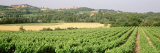 Plants at a Vineyard, Roussillon, France Photographic Print by Panoramic Images 