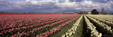 Tulip Field, Washington, USA Photographic Print by Panoramic Images 
