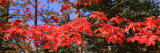 Red Leaves on a Tree, Keweenaw Peninsula, Copper Harbor, Michigan, USA Photographic Print by  Panoramic Images