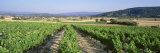 Plants at a Vineyard, Joucas Provence, France Photographic Print by  Panoramic Images