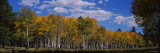 Aspen Trees in a Forest, Coconino National Forest, Flagstaff, Arizona, USA Photographic Print by Panoramic Images