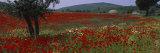 Red Poppies in a Field, Turkey Fotografisk trykk av Panoramic Images,