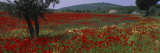 Red Poppies in a Field, Turkey Fotografie-Druck von Panoramic Images 