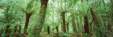 Trees in a Forest, Franklin Gordon Wild Rivers National Park, Tasmania, Australia Fotografisk trykk av Panoramic Images,