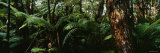Trees in a Forest, Hawaii Volcanoes National Park, Hawaii, USA Fotografisk trykk av Panoramic Images,