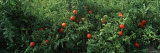 Tomatoes Growing on a Tree Photographic Print by  Panoramic Images