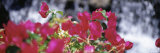 Bougainvillea Flowers, Big Island, Hawaii, USA Photographic Print by  Panoramic Images