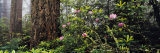 Redwoods and Rhododendrons at Prairie Creek Redwood State Park, California, USA Photographic Print by Panoramic Images 