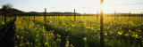 Crops in a Field, Napa Valley, California, USA Photographic Print by Panoramic Images 