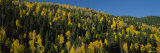 Trees in a Forest, Sangre de Cristos Mountains, New Mexico, USA Photographic Print by  Panoramic Images