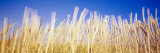 Marram Grass in a Field, Washington State, USA Photographic Print by  Panoramic Images
