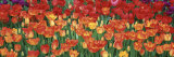 Tulips in a Garden, Botanical Garden of Buffalo and Erie County, Buffalo, New York, USA Photographic Print by  Panoramic Images